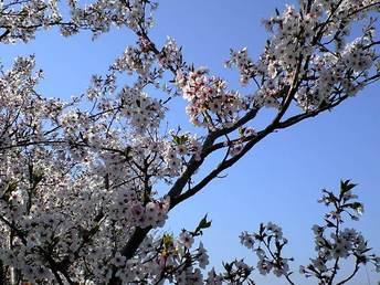 見ての通り、桜です