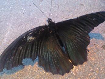 アゲハ蝶だと思う