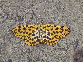 キベリゴマフエダシャク